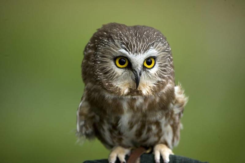 pygmy-owl.jpg