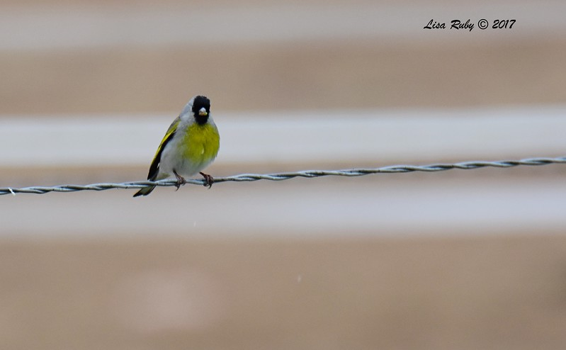 Lawrence's Goldfinch - 2/26/2016 - Sycamore Canyon Road