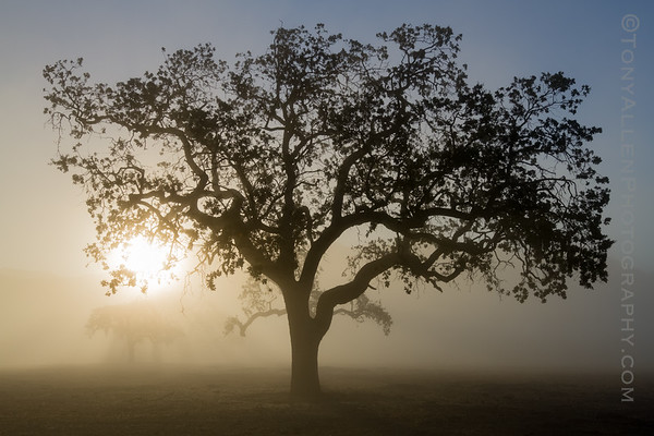 Foxen Canyon Oak at Dawn