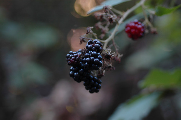 Berries and Grasses