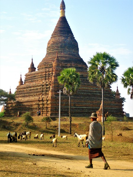 A sheep herder tends to sheep near a Bagan temple