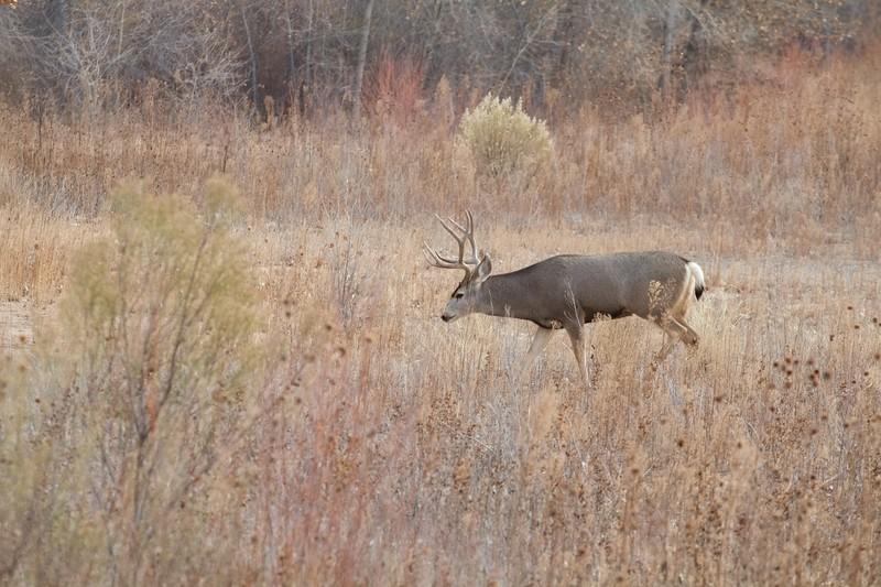 Mule Deer buck Bosque del Apache NWR Socorro NM IMG_0007526.CR2.jpg