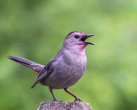 Bala Cynwyd Birds