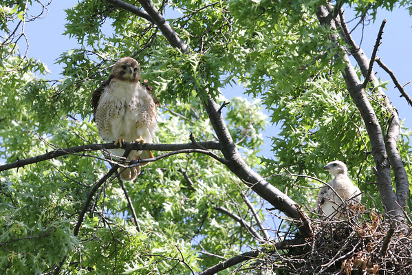 Red Tailed Hawk Family