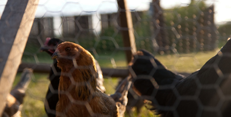 Here are the chickens.