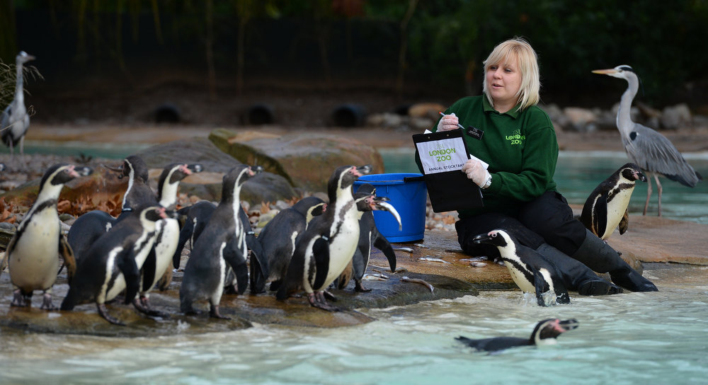 Description of . A zoo keeper poses counting penguins during the annual stocktake at ZSL London Zoo in central London on January 3, 2013. ZSL London Zoo embarked on January 3 on their annual complete head-count of every animal at the zoo, which houses over 17,000 animals. BEN STANSALL/AFP/Getty Images