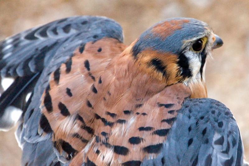 Kestral (m) - wings spread - World Bird Sanctuary