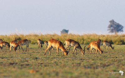 Red Lechwe grazing