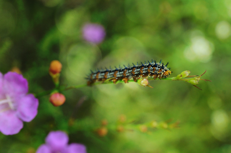 The Slenderleaf False Foxglove was blooming and several Gulf Fritillary caterpillars were eating.