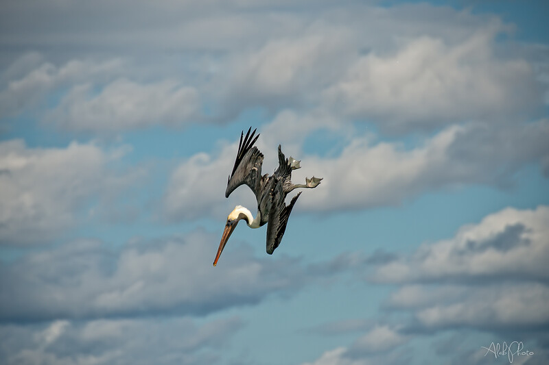 Pelican_5