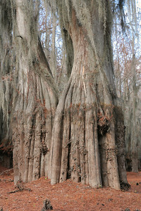 Knee-Deep in Cypress Knees, part 2