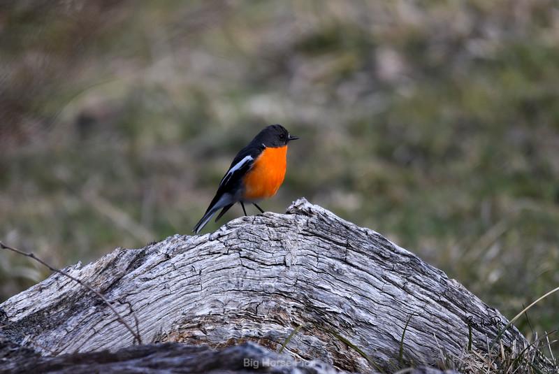 robin crop bhp.jpg