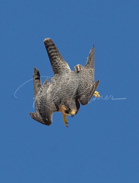 Peregrine in a dive