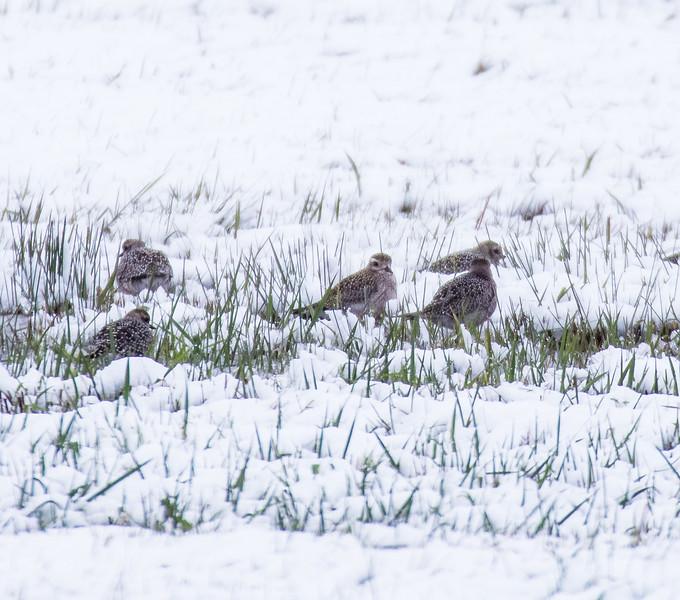 American Golden Plover flock in snow Dart Road CR229 Sax-Zim Bog MN-1033551.jpg