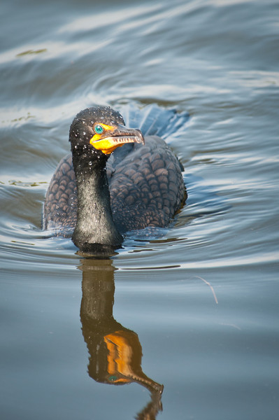 Double-crested Cormorant at Ding Darling