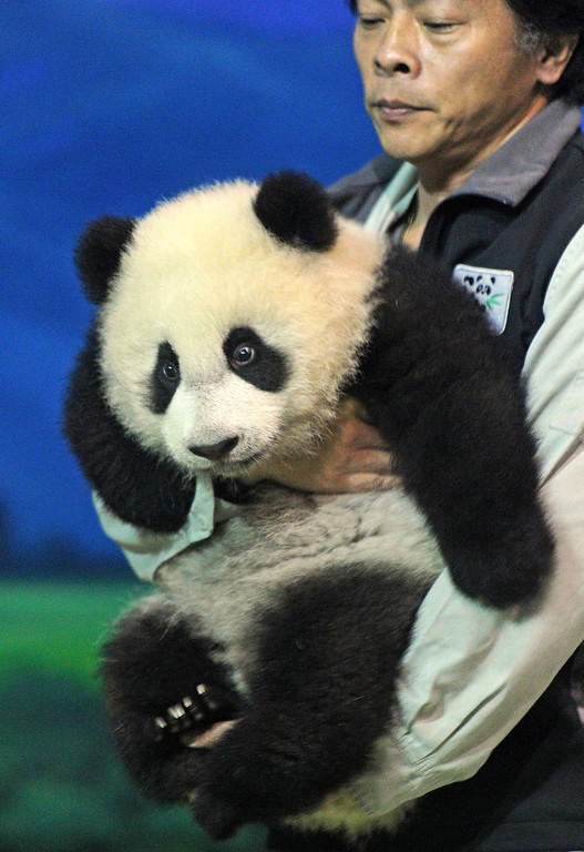 . Yuan Zai , the first Taiwan-born baby panda, is carried by a staff member at the Taipei City Zoo on January 4, 2014. The first Taiwan-born giant panda cub was unveiled to the media on January 4 in a warm up for her highly-anticipated public debut next week.  SAM YEH/AFP/Getty Images