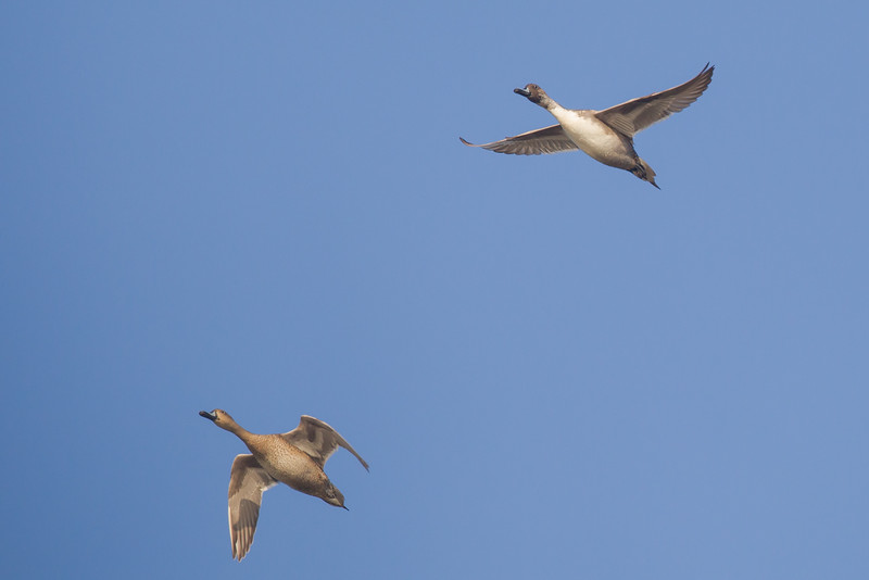 Northern Pintail in flight - Bird Haven Ranch, Butte City, CA, USA