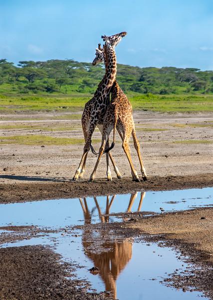 giraffes-112_0221_5652.jpg