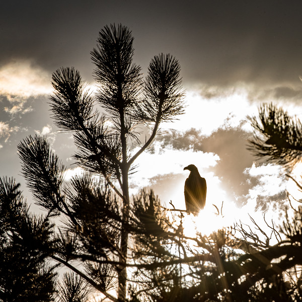 A bald eagle watches from a snag above Evergreen Lake, Colorado.