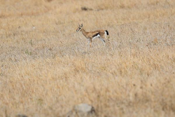 Thompsons Gazelle Mara Reserve Kenya 2017