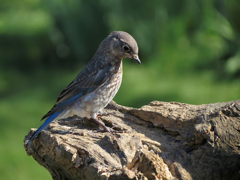 sx40_bluebird_fledgling_187.jpg