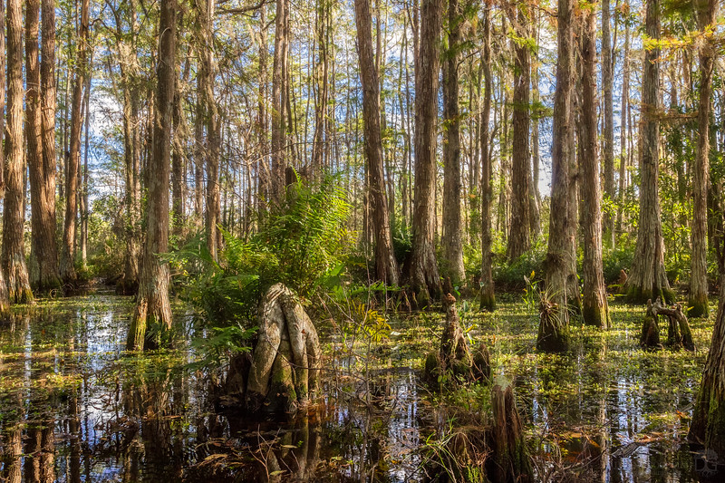 Cypress dome swamp during golden hour