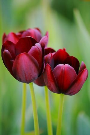 Simply Springtime Tulips!