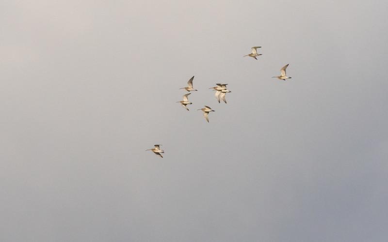 wulp, eurasian curlew
