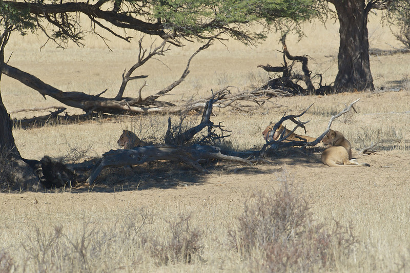 Lion females on a wildebeest kill, Kgaligadi Transfrontier Park, South Africa