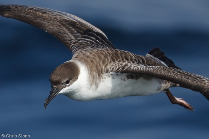 Greater Shearwater juvenile at Gulf Stream pelagic off Hatteras, NC (06-03-2010) - 019-Edit