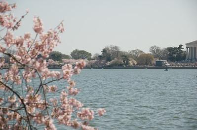 2006-03-30 - Cherry Blossoms