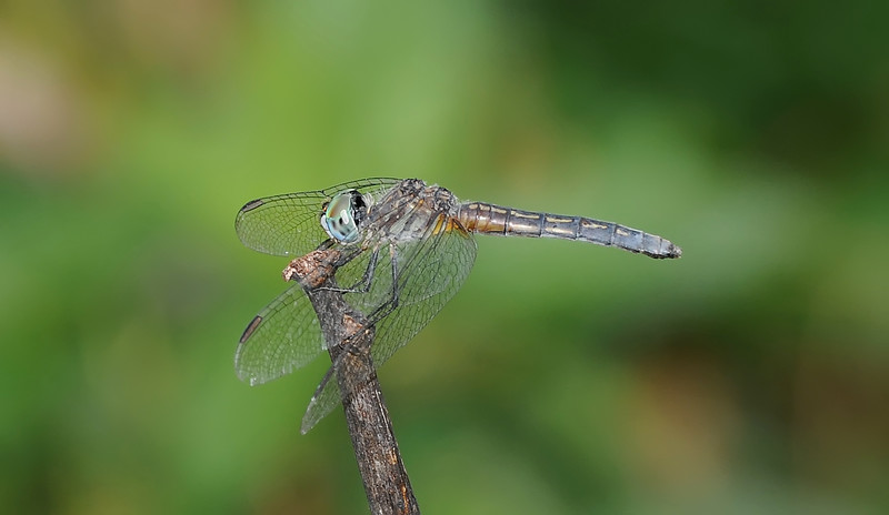Pachydiplax longipennis (Blue Dasher) - female