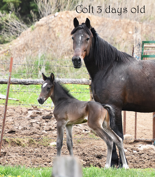 03 Colt 3 days old with Mother.Markesan -Roper.jpg