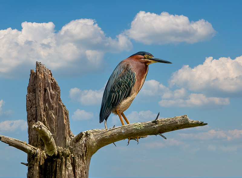 skyReplacementgreen heron.jpg