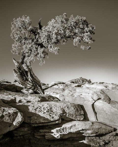 Tree at Dead Horse Point State Park