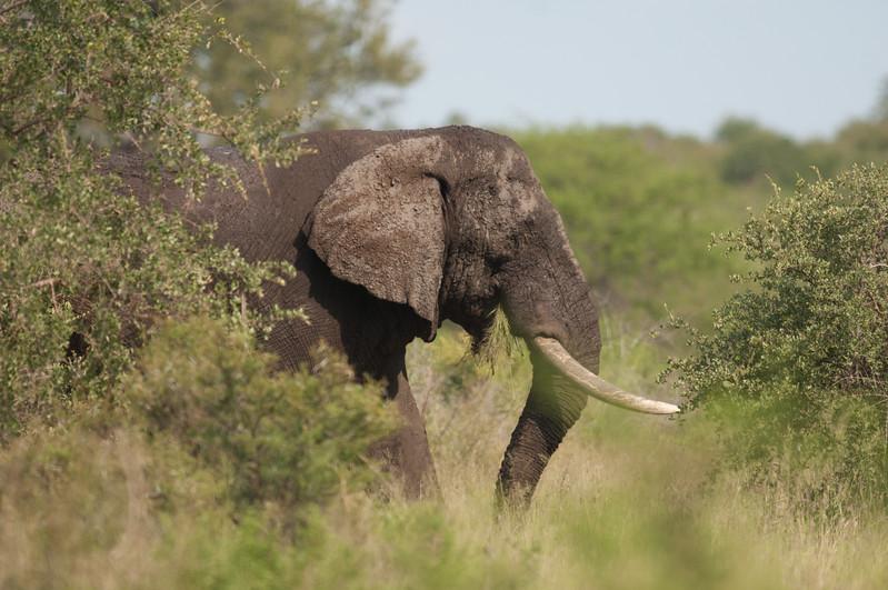 Elefant, Kruger National Park