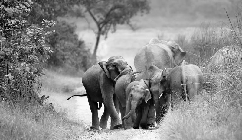Playful-jostling-elephants-corbett-bw.jpg