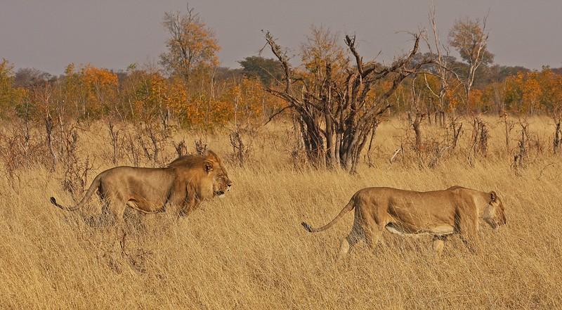 LION PAIR 1.jpg