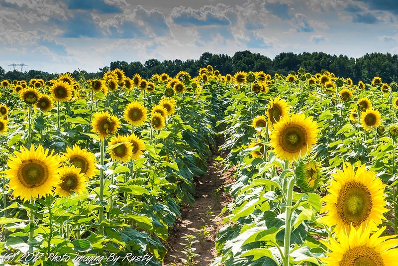 Sun Flowers-10.JPG