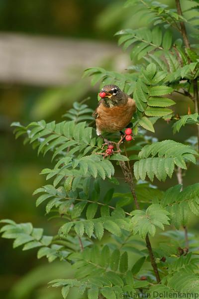 American Robin eating Sitka Mountain Ash berries