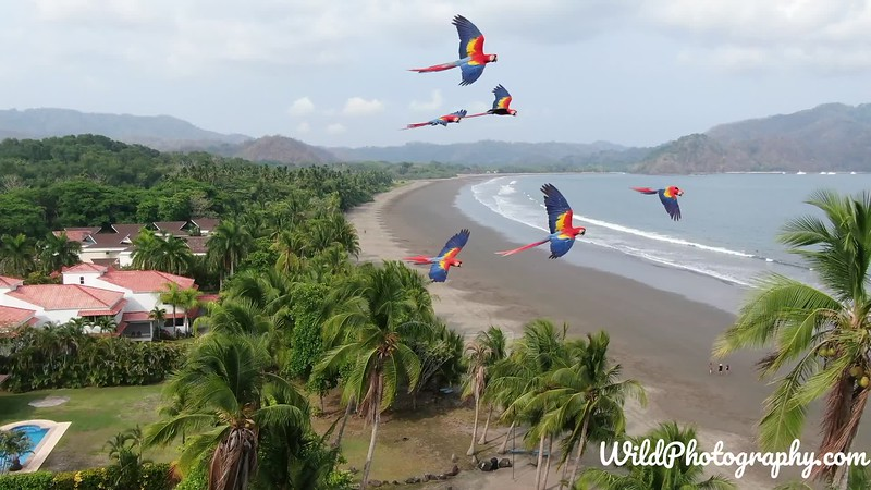 Flying Macaws.mp4
