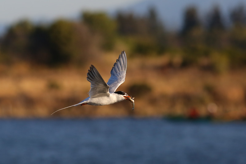 Tern Catching Fish
