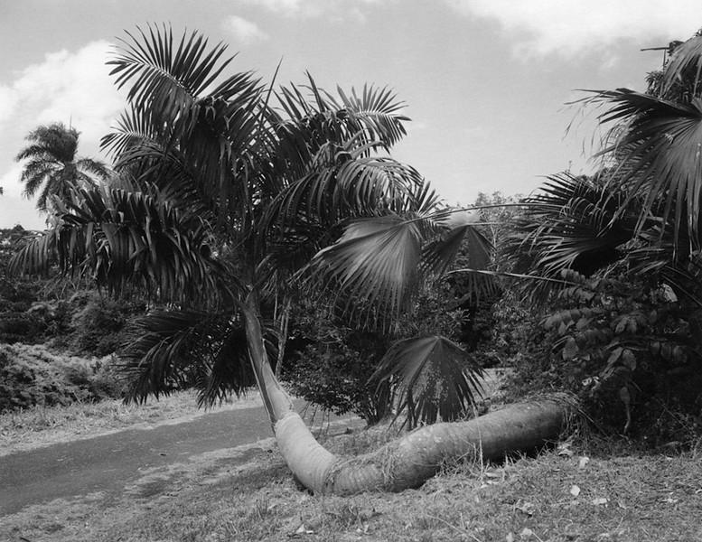 Jabba The Palm Tree