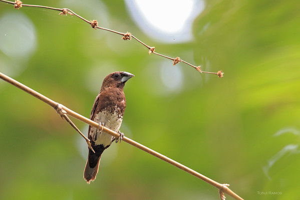 White-Bellied Munia