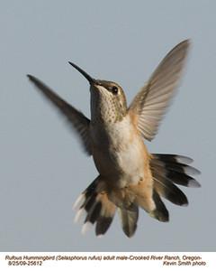 RufousHummingbirdsA25612.jpg