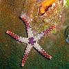 Red Purple Starfish