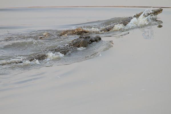 Nile Croc Zambia 2013