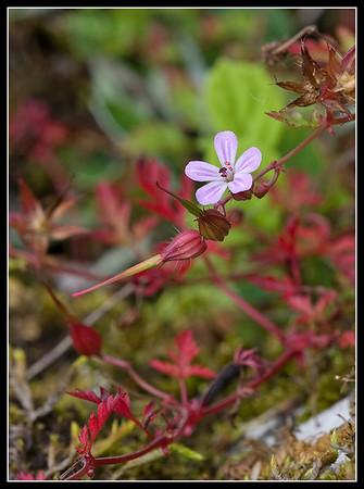 Herb-robert