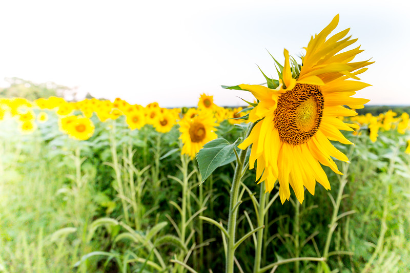 Mike Maney_Sunflowers-10.jpg