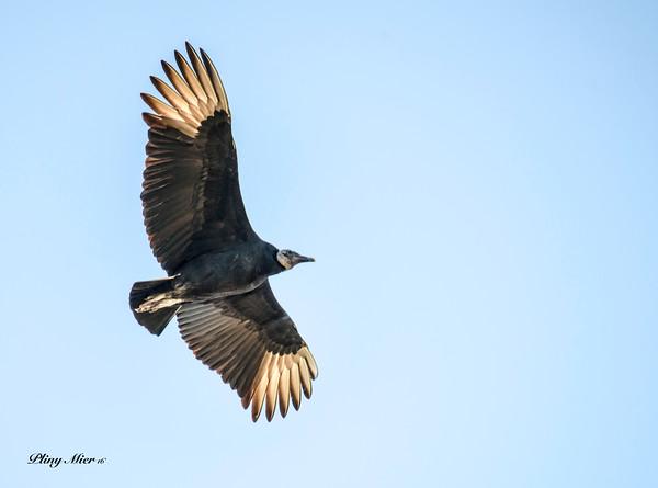Black Vulture_DWL9280.jpg